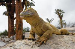 Galapagos Iguana Echse an Land